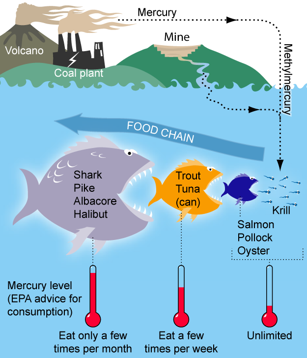 Ciclo del metilmercurio dalla terra fino ai predatori fi più alto livello.