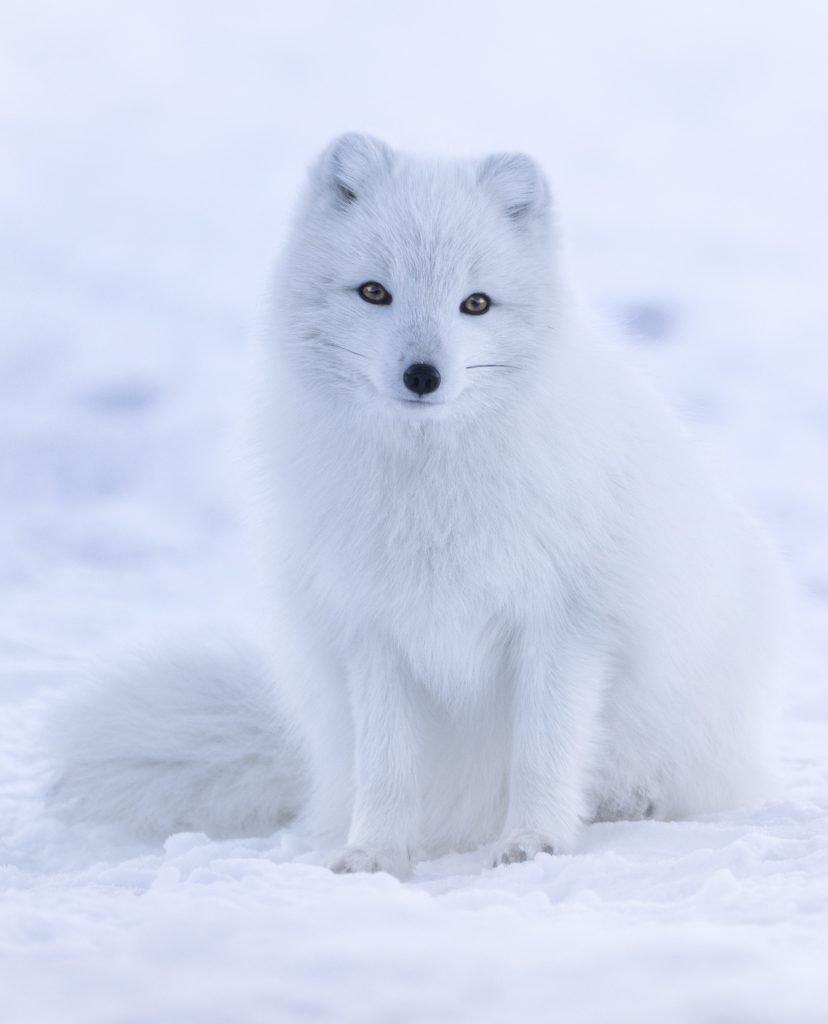 Una bellissima volpe artica con il manto invernale che si mimetizza con il bianco della neve artica