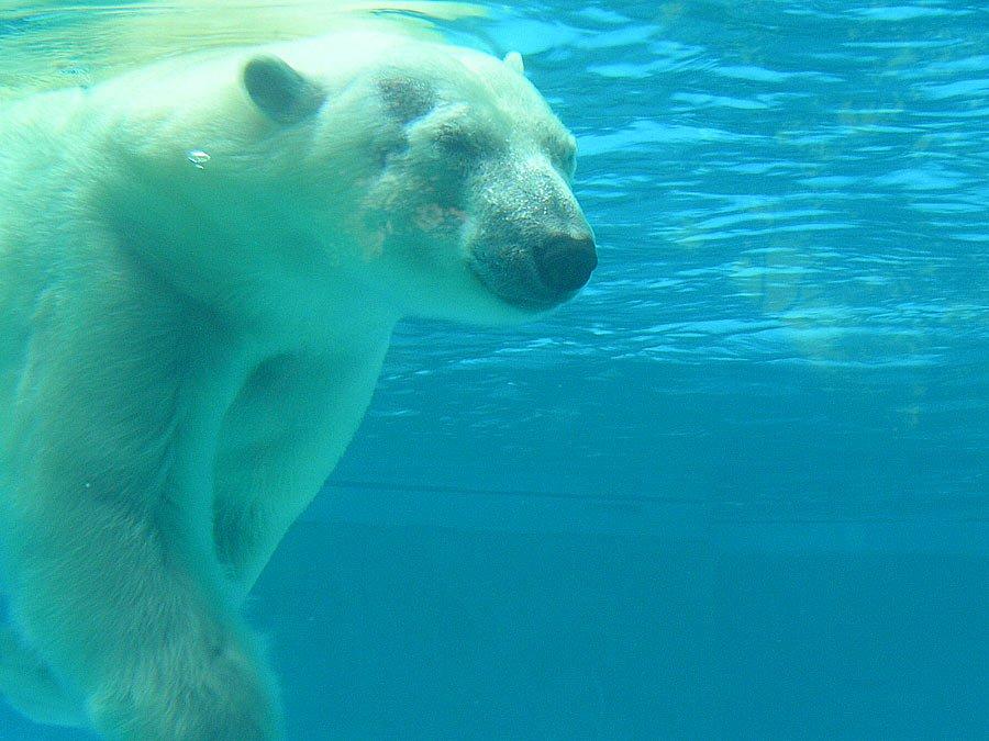 Un orso polare immerso in acqua che di mostra le sue abilità da nuotatore