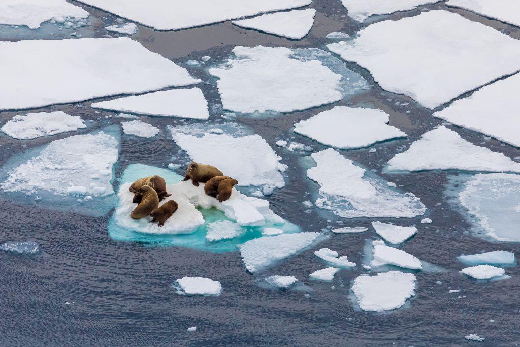 Un gruppo di trichechi si riposa su una piccola zattera di ghiaccio